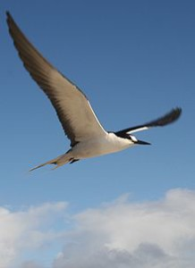 Photo of black and white bird wings outstretched flying. Blue sky.
