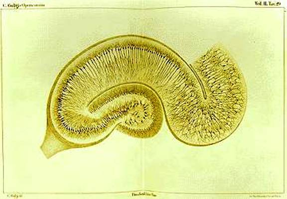 Memory and the Brain Detailed drawing of the Hippocampus