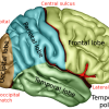 Parietal lobes diagram of brain showing parietal lobes in blue