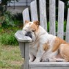 Fatigue after brain injury Brown and white dog sleeping in wooden chair
