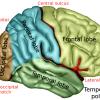 Parietal lobes diagram of brain showing parietal lobes in blue